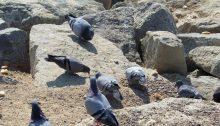 Verschnürte Taubenfüße - ein menschengemachtes Problem
