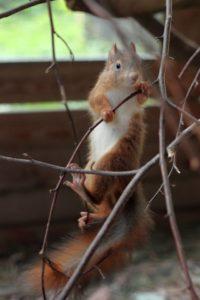Kletterkünste eines Eichhörnchenkindes, das im Alter von etwa 2 bis 3 Tagen seine Mutter durch Baumschnittarbeiten verlor.