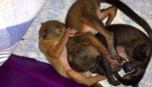 heimische Eichhörnchen
