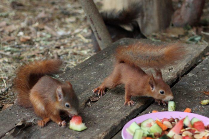 Eichhörnchen in der Auswilderungsvoliere