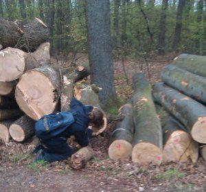 Herausfangen verletzter Fledermäuse nach Baumschnittarbeiten aus den Baumstümpfen.
