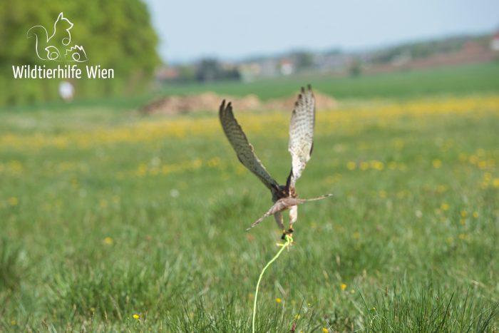 Über Falknerei und schonende Auswilderungen