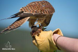 Falke frisst Beute