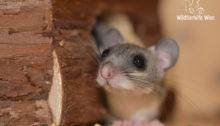 Junger Siebenschläfer - Wildtierhilfe Wien