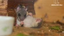 Schlafender Siebenschläfer - Wildtierhilfe Wien