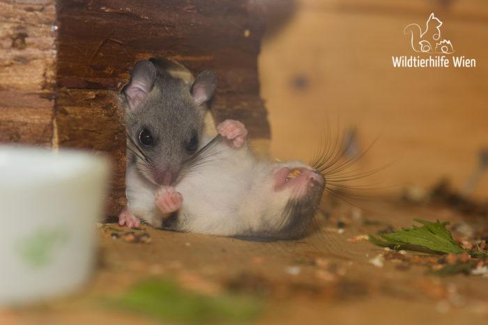 Winterschlaf und Winterruhe: Siebenschläfer - Wildtierhilfe Wien