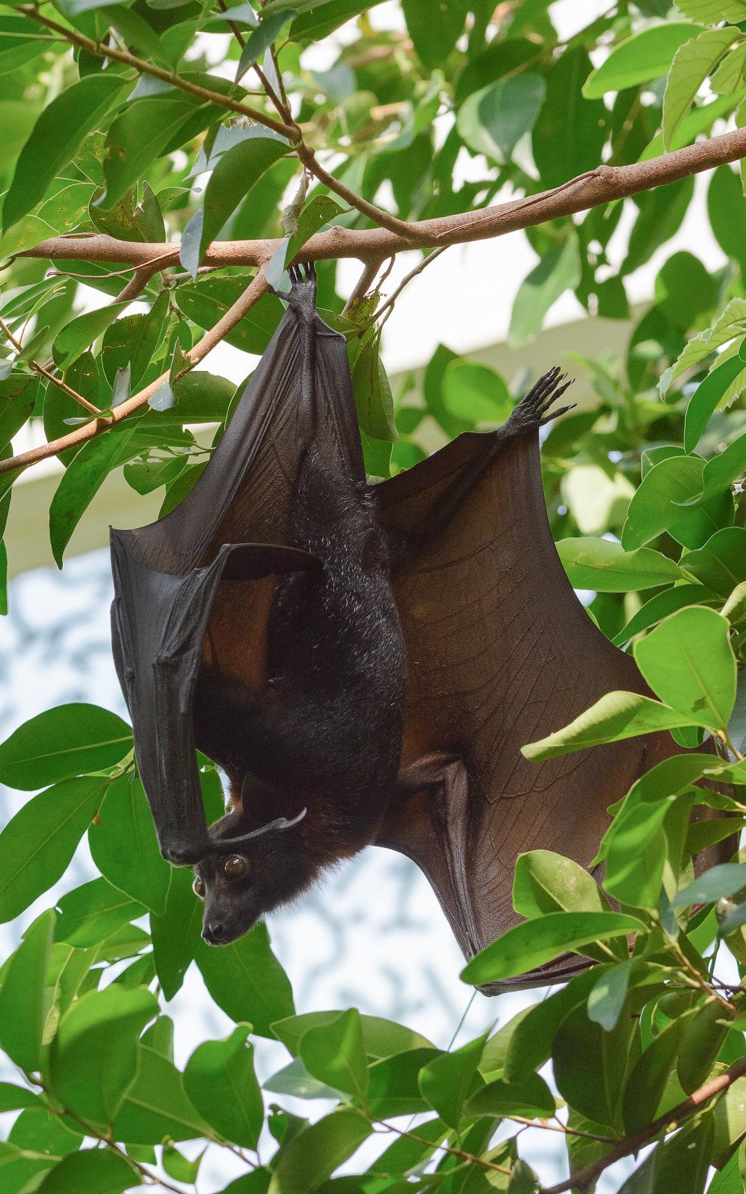 Die Fledermaus - Eine Besonderheit: Flughund