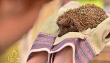 Igel bei der Untersuchung auf Verletzungen - Wildtierhilfe Wien