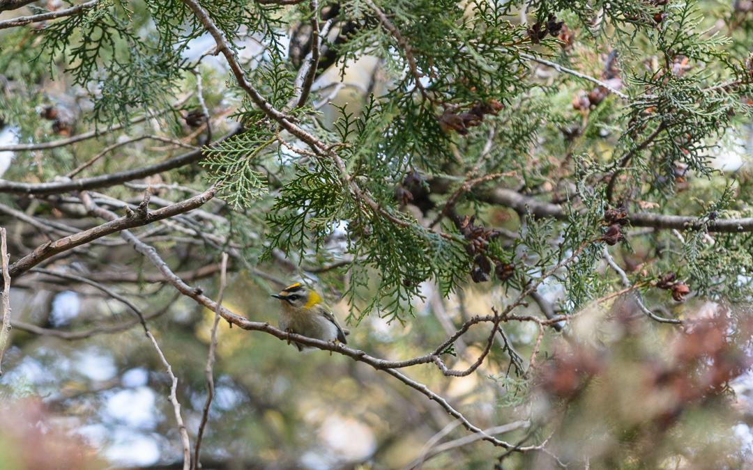 Wildtierhilfe Wien: Sommergoldhähnchen