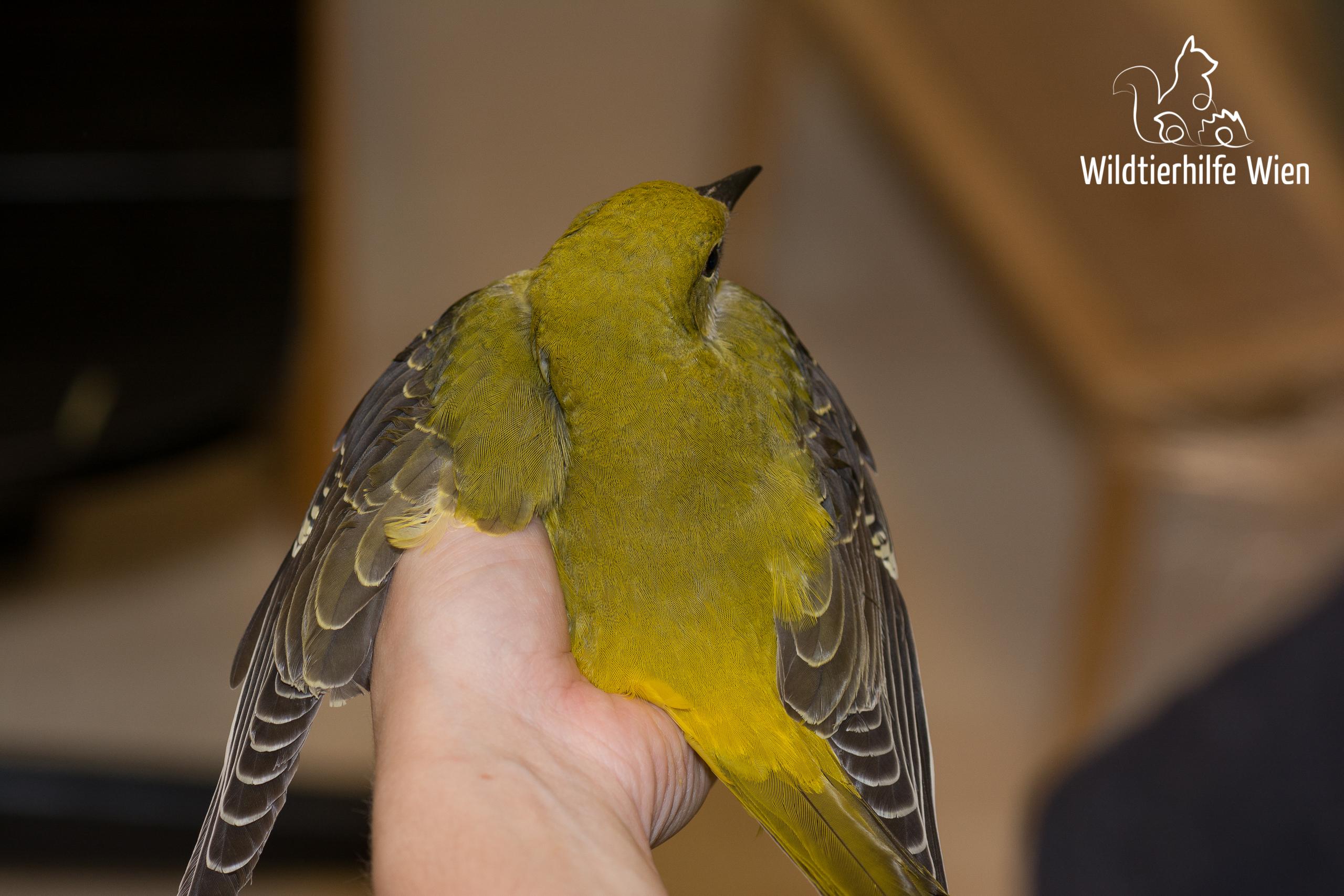 Pirol-Ästling (Dorsalansicht) - Wildtierhilfe Wien