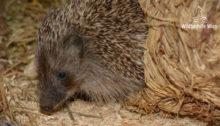 Junger Igel - Wildtierhilfe Wien