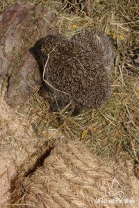 Igel beim Nestbau - Wildtierhilfe Wien