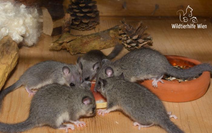 Fünf Siebenschläfer - Wildtierhilfe Wien