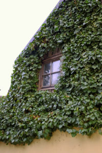 Ein wildtierfreundlicher Garten mit einer Efeu-überwachsenen Fassade.