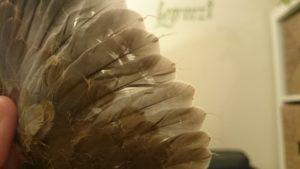 Gefiederschäden bei einer Türkentaube