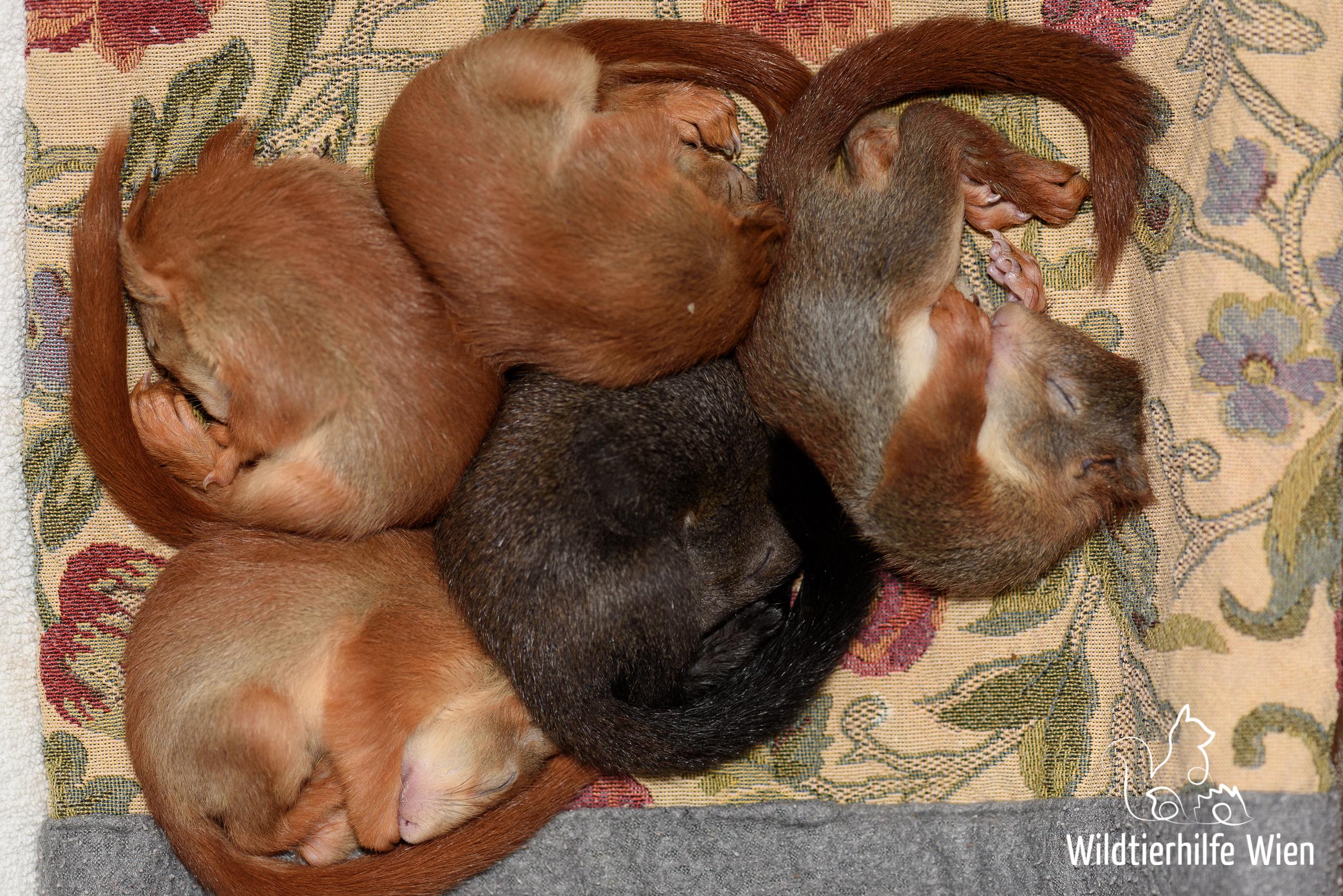 Eichhörnchenkinder