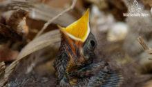 Hausrotschwanz-Nestling