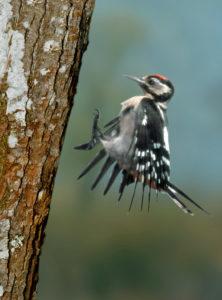 Junger Buntspecht - von Jakob Zmölnig http://www.respect-to-wildlife.at/image/bilder/report08/specht/buntspecht.jpg