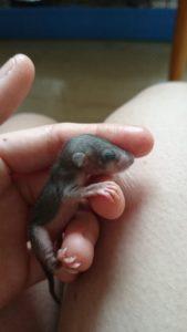 Siebenschläferbaby - Wildtierhilfe Wien
