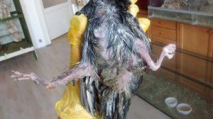 Taube mit Spreizbeinen