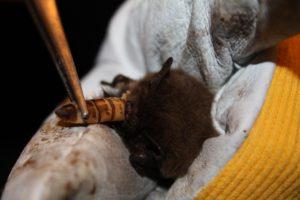 Eine Weißrandfledermaus beim Verschlingen eines Zophobas - die Käferlarven sind z.T. länger als die Fledermaus!