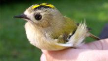 Wildtierhilfe Wien: Wintergoldhähnchen